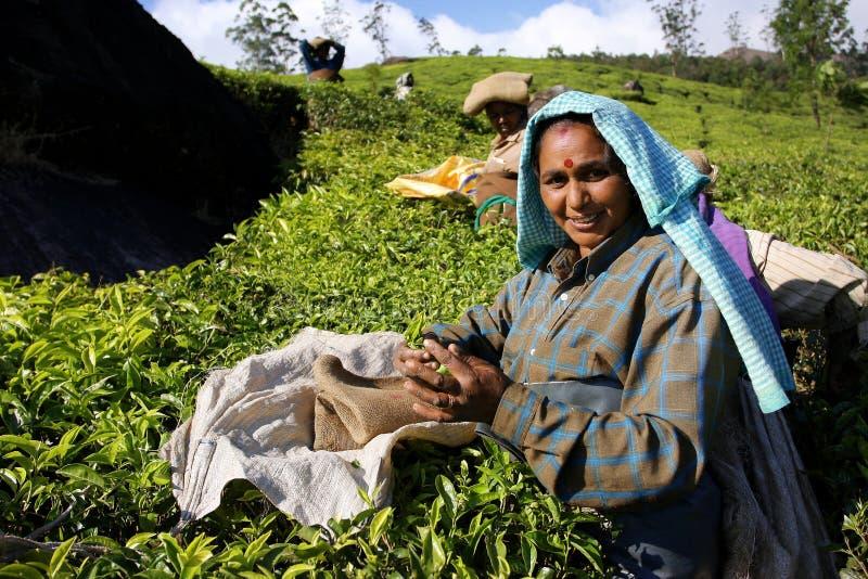 Mujer india con las hojas de té fotografía de archivo