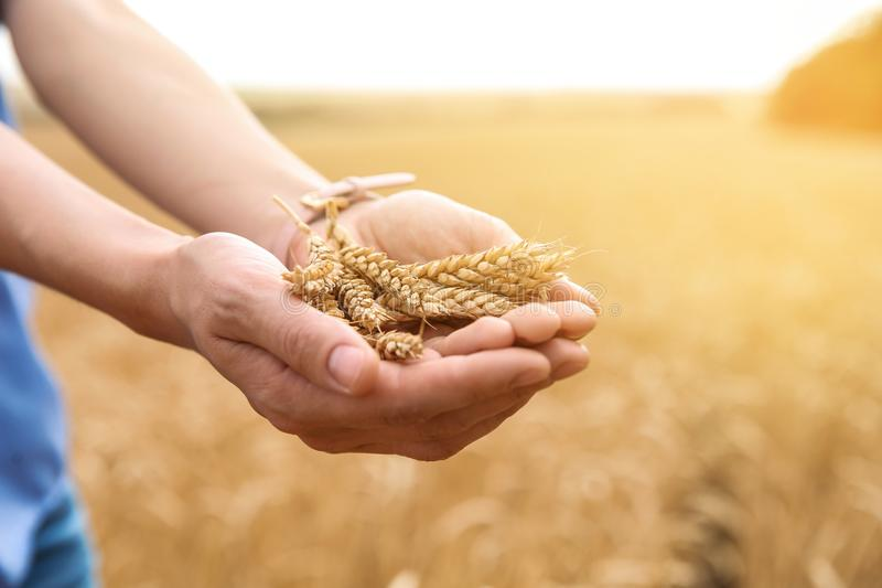 Mujer joven con los granos del trigo en el campo, primer foto de archivo