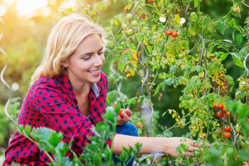 Mujer joven hermosa en la camisa roja comprobada que cosecha los tomates imagen de archivo
