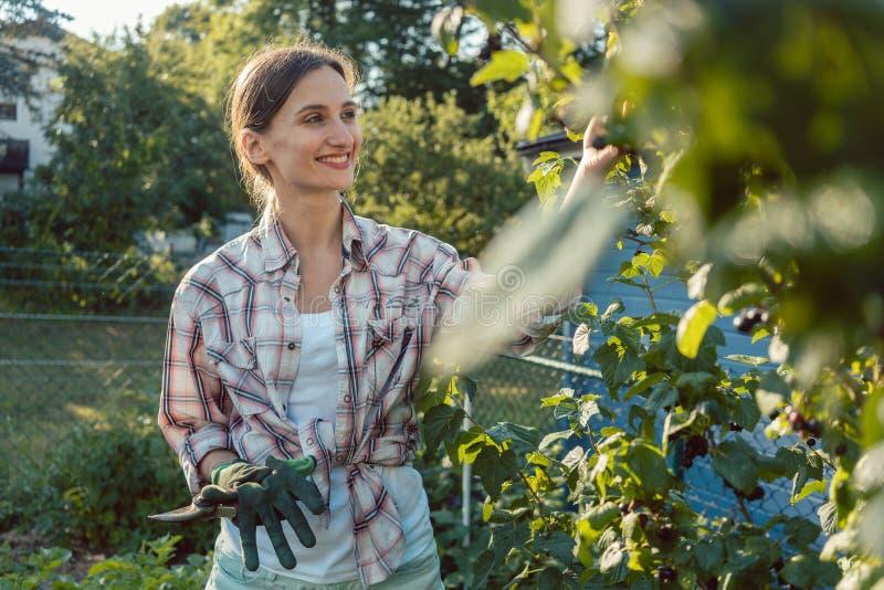 Mujer joven que cultiva un huerto desplumando bayas del arbusto foto de archivo
