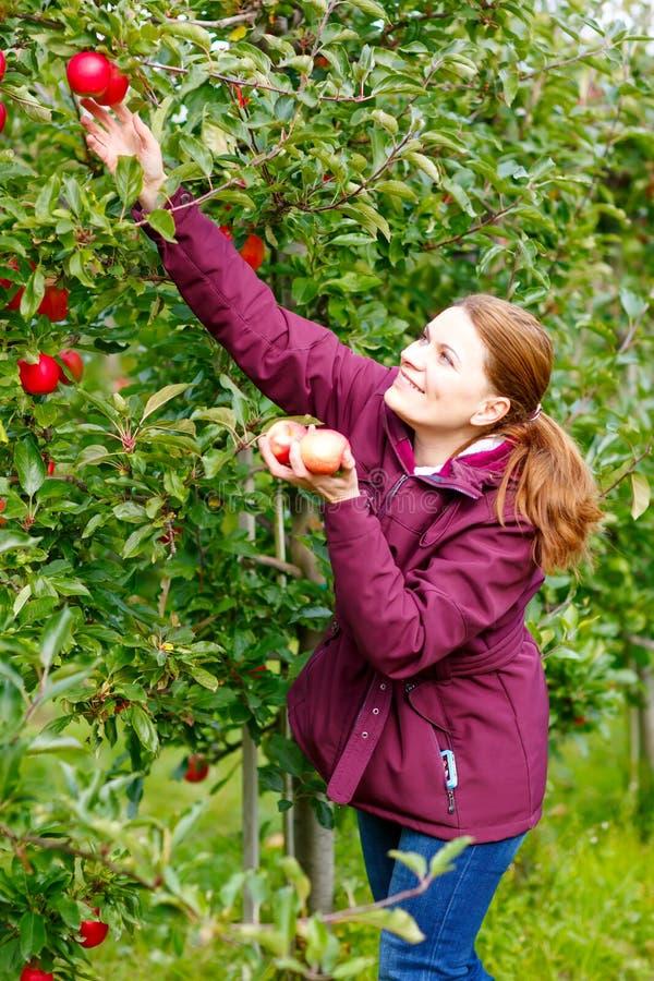 Mujer joven que escoge manzanas rojas en granja imagen de archivo