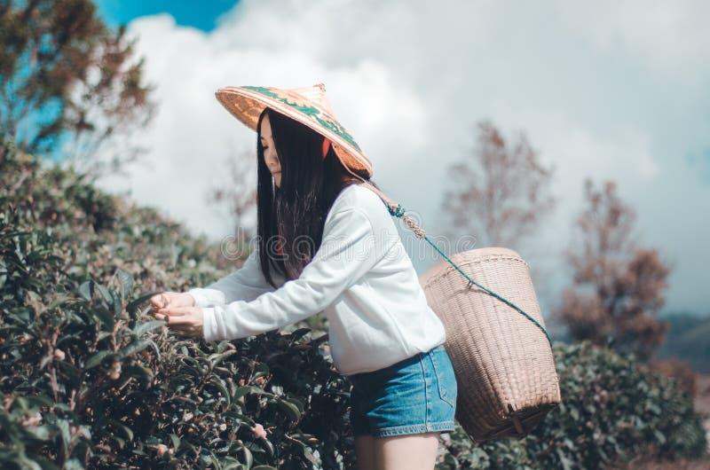 Mujer joven que recoge las hojas de t? imagen de archivo libre de regalías