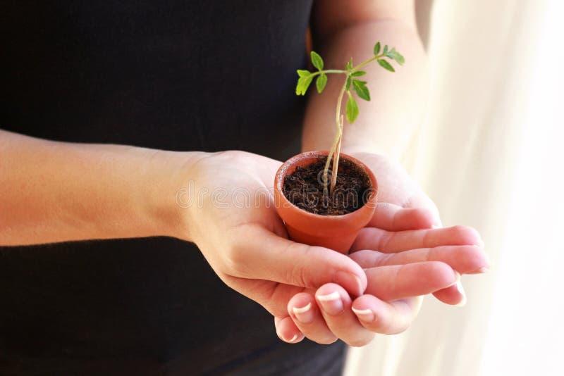 Mujer joven que sostiene una pequeña planta de tomate en sus manos fotografía de archivo libre de regalías