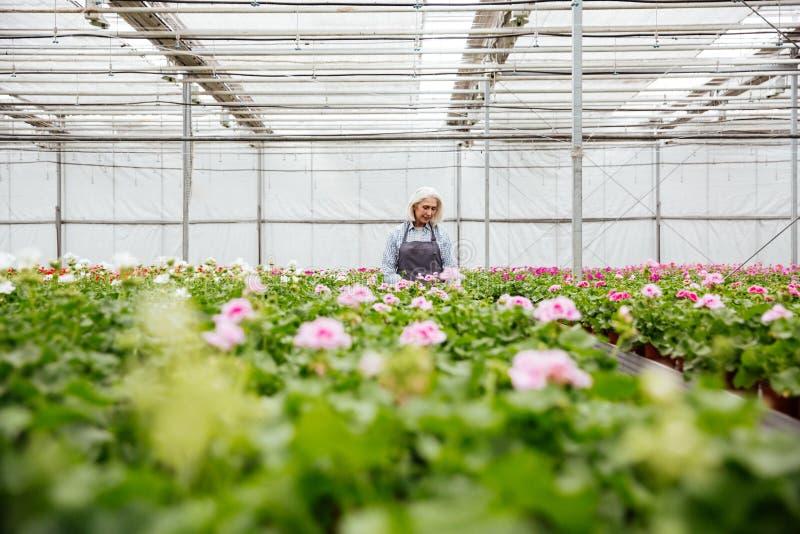 Mujer madura joven que trabaja con las plantas en invernadero imagenes de archivo