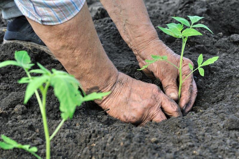 Mujer mayor que planta una planta de semillero del tomate fotografía de archivo libre de regalías