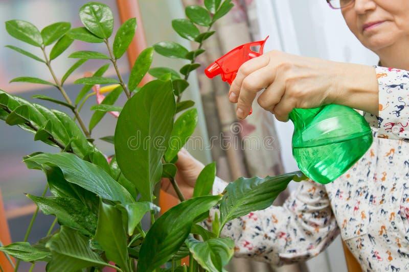 Mujer mayor que rocía una planta con agua pura de una botella del espray foto de archivo libre de regalías