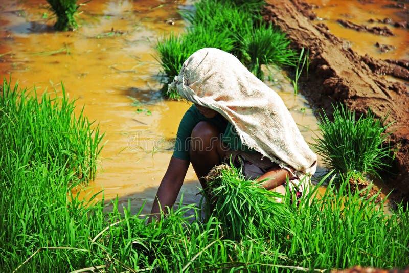 Mujer, plantando el arroz imágenes de archivo libres de regalías