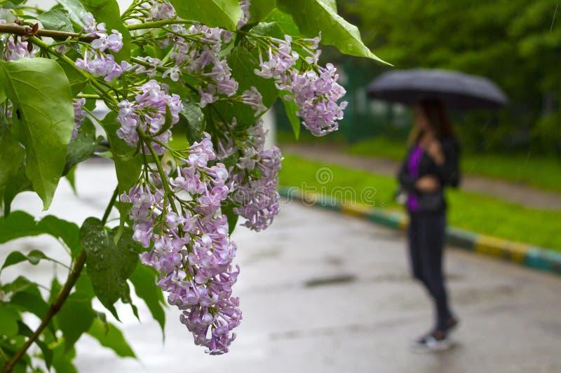 Mujer que camina con el paraguas negro debajo de la lluvia y de las flores púrpuras de la lila imagen de archivo libre de regalías