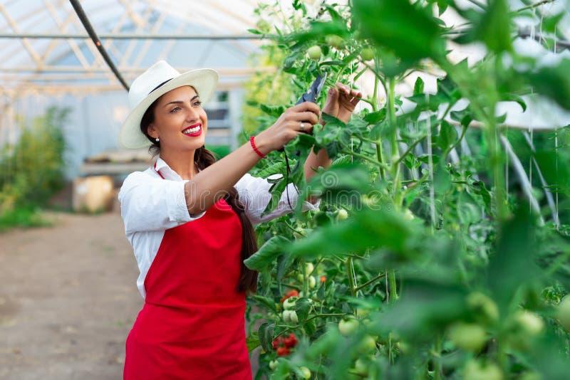 Mujer que cosecha los tomates frescos del invernadero foto de archivo libre de regalías