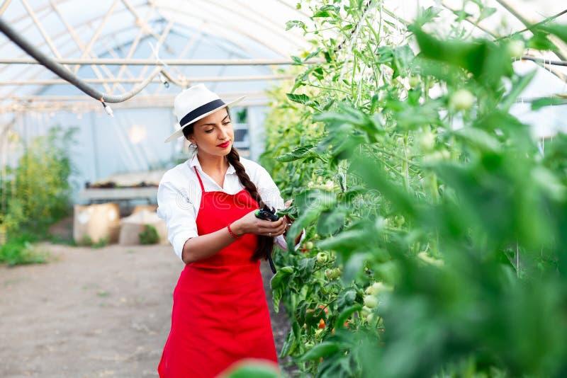 Mujer que cosecha los tomates frescos del invernadero imagen de archivo