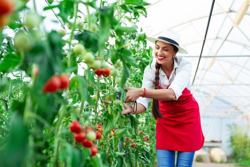 Mujer que cosecha los tomates frescos del invernadero fotografía de archivo