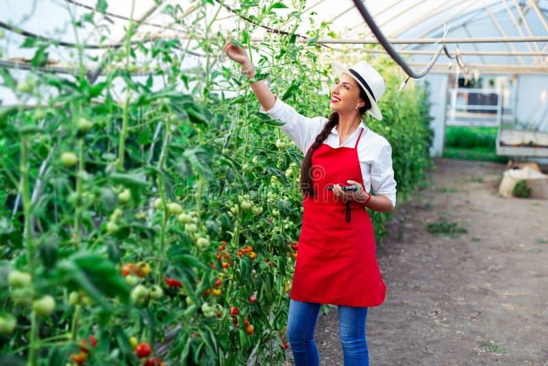 Mujer que cosecha los tomates frescos del invernadero fotos de archivo