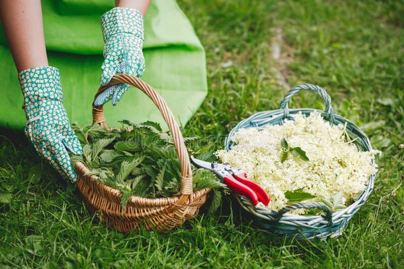 Mujer que escoge las ortigas y el elderflower en una cesta imagenes de archivo