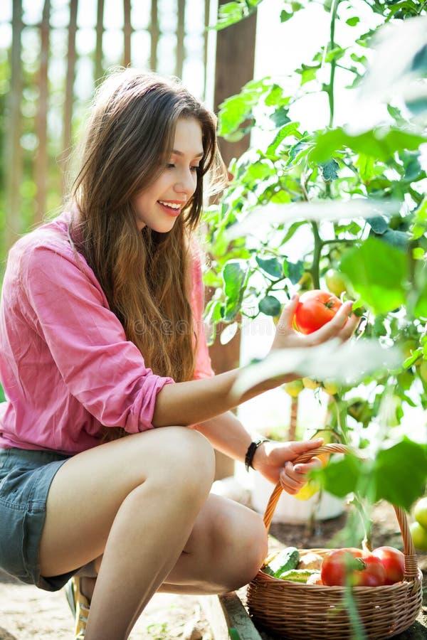 Mujer que escoge los tomates frescos imagen de archivo