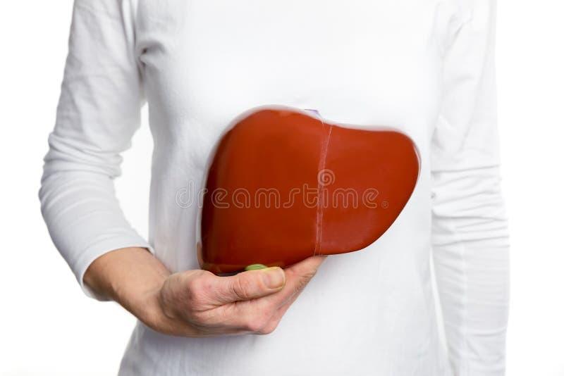 Mujer que lleva a cabo el modelo humano del hígado en el cuerpo blanco foto de archivo libre de regalías