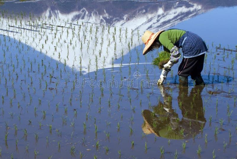 Mujer que planta el arroz imagenes de archivo