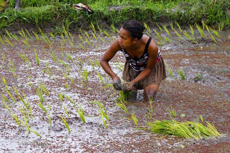 Mujer que planta el arroz en los campos de arroz imagen de archivo libre de regalías