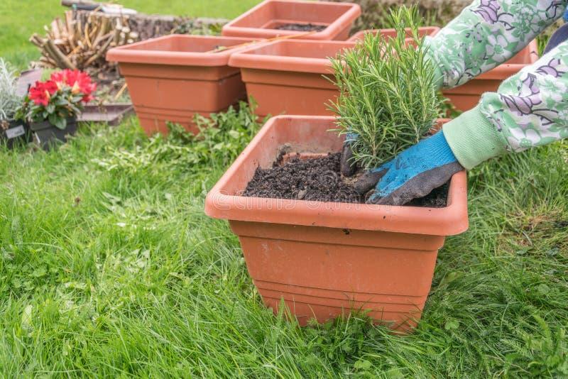Mujer que planta la hierba en maceta de la terracota imagenes de archivo