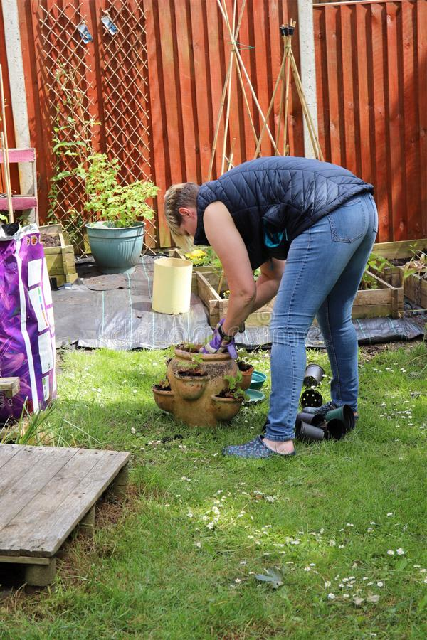 Mujer que planta las fresas en un pote del teracotta fotos de archivo