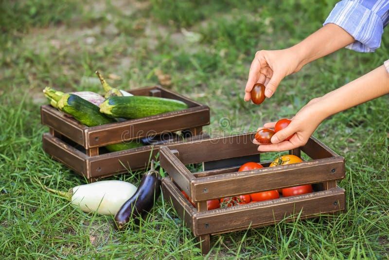 Mujer que pone los tomates maduros en cajón al aire libre foto de archivo libre de regalías