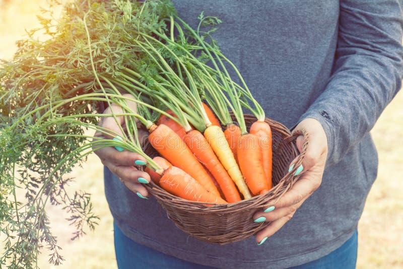 Mujer que sostiene una cesta de zanahorias recientemente escogidas imágenes de archivo libres de regalías