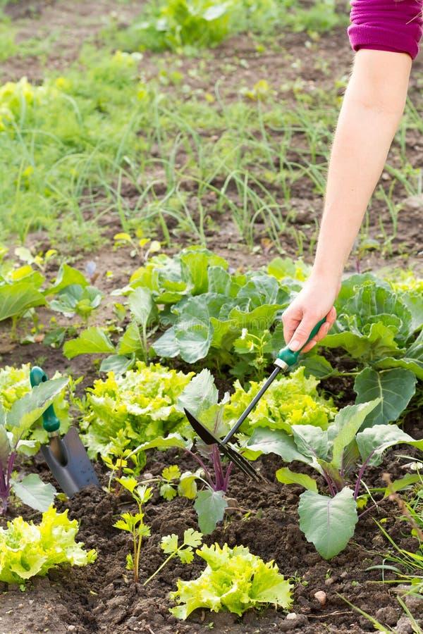Mujer que toma cuidado con su pequeño campo de verduras orgánicas imagen de archivo libre de regalías