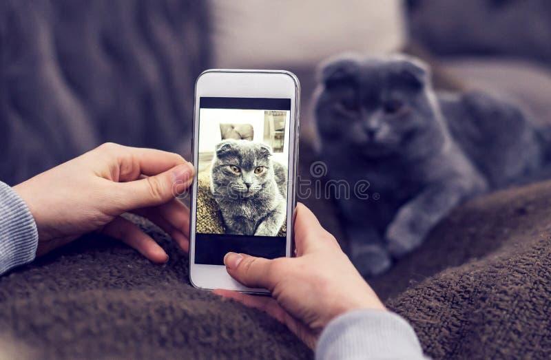 Mujer que toma la imagen del gato británico azul del shorthair fotografía de archivo