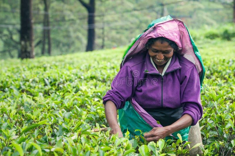 Mujer que trabaja en la plantación de té srilanquesa imagenes de archivo