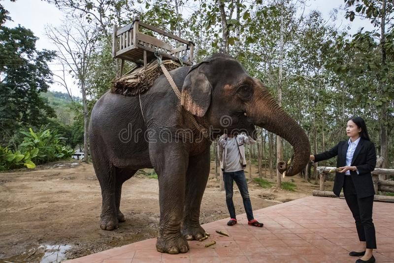 Mujer turística china que da al tronco del elefante el plátano fotografía de archivo