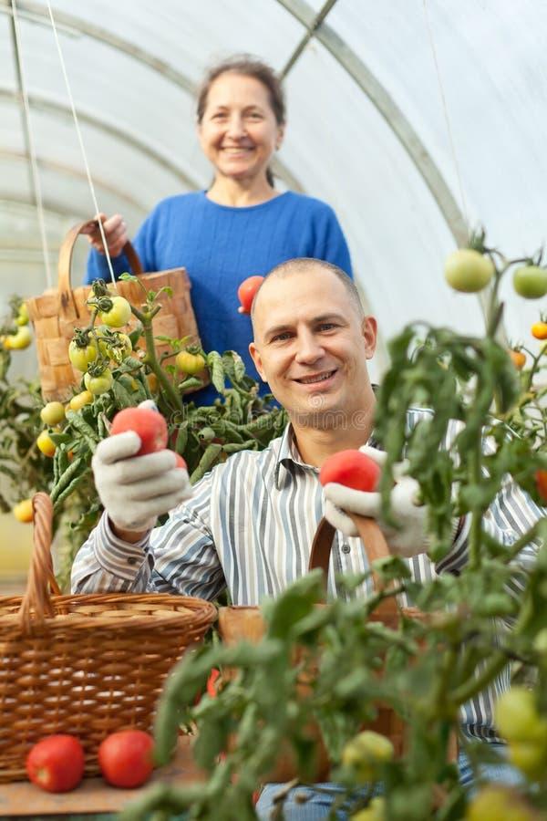Tomates de la cosecha de la mujer y del hombre foto de archivo libre de regalías
