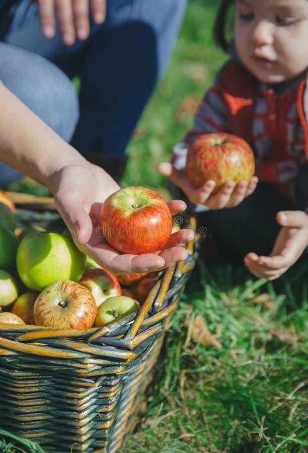 Mujer y muchacha que sostienen manzanas orgánicas en manos imágenes de archivo libres de regalías