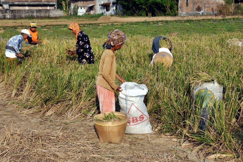 Mujeres durante cosecha del arroz fotos de archivo libres de regalías