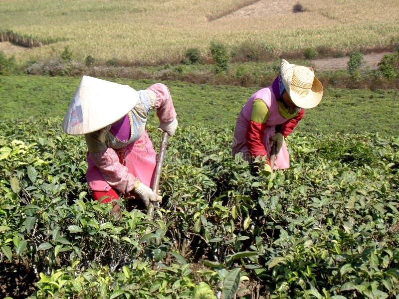 Mujeres en los campos del té foto de archivo libre de regalías