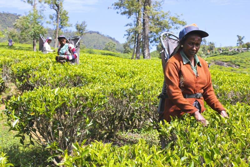 Mujeres que trabajan en la plantación de té srilanquesa colorida fotos de archivo