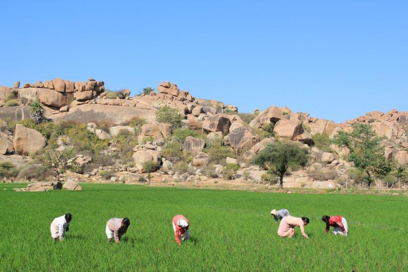 Mujeres que trabajan en los campos del arroz en Hampi foto de archivo