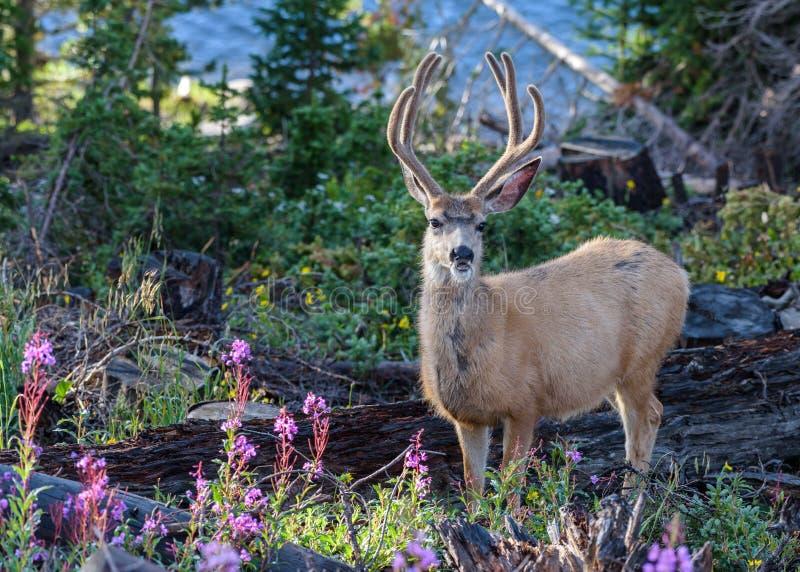 Mulahjortar Buck In vildblommorna av nordliga Colorado royaltyfria foton