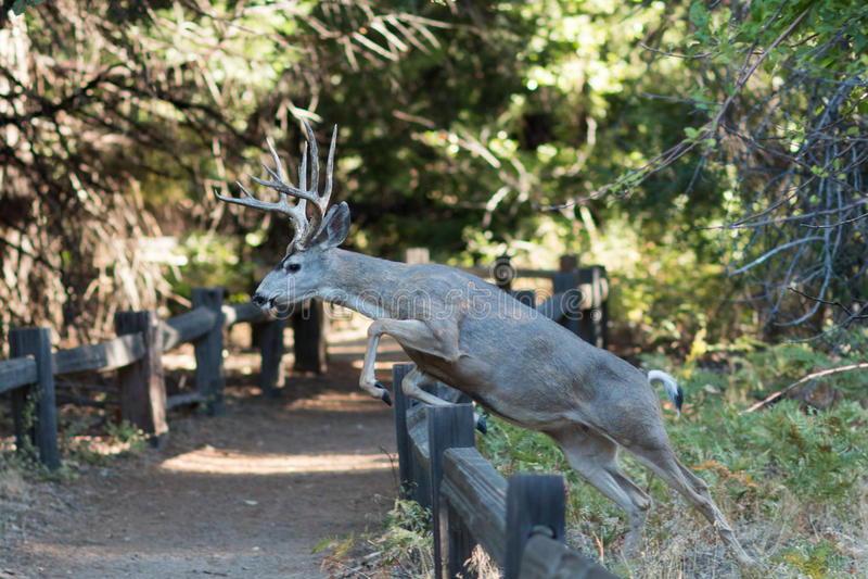 Mulahjortar som hoppar ett staket arkivfoton