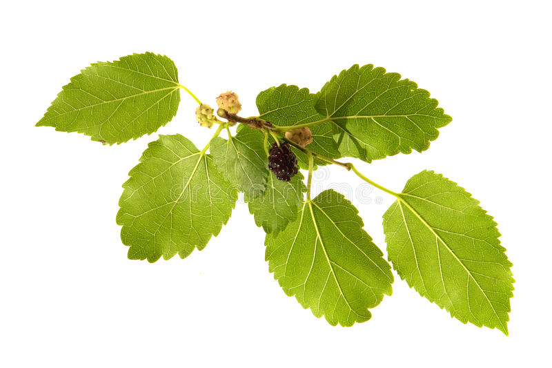 Mulberry, foto de stock