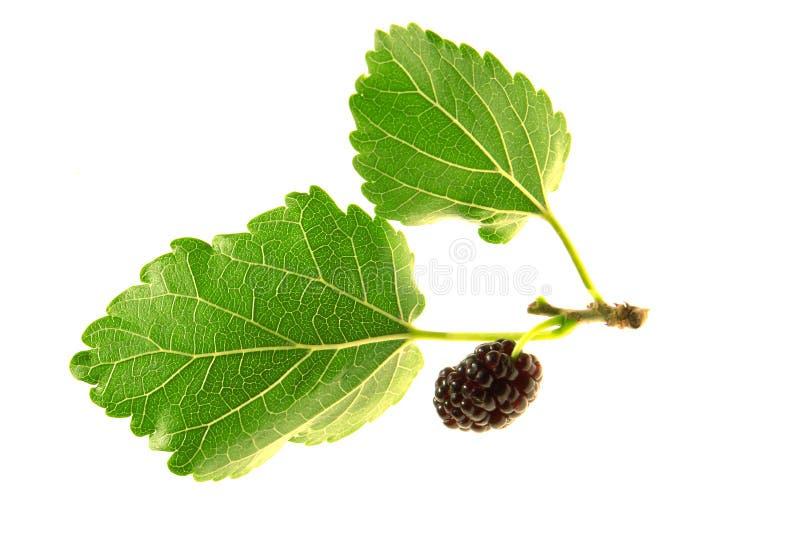 Mulberry, fotografia de stock