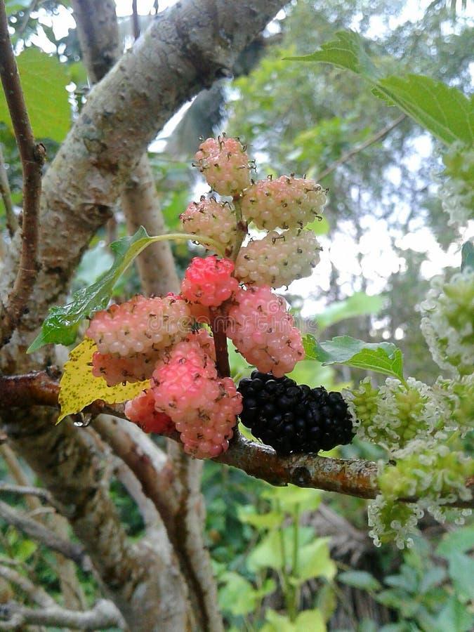 mulberry fotos de archivo