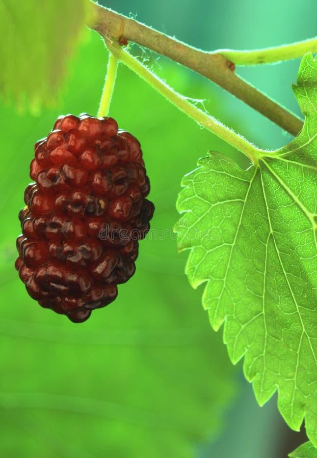 Mulberry, imagem de stock royalty free