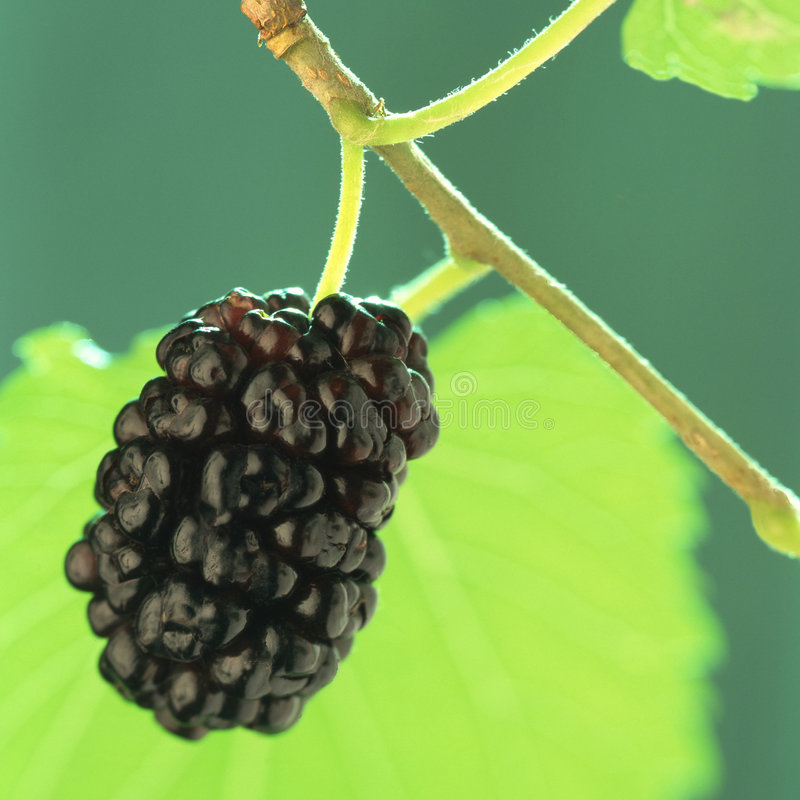 Mulberry, imagens de stock royalty free