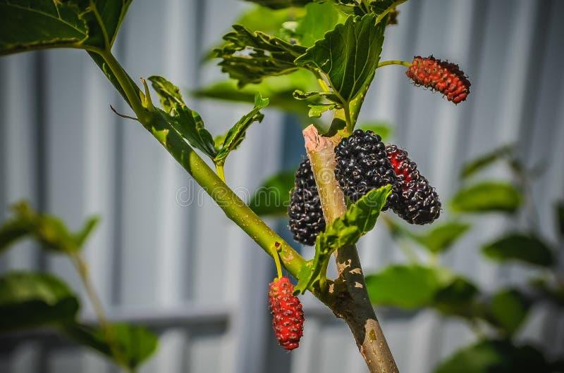 mulberry foto de stock royalty free