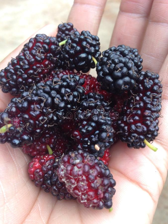 mulberry imagens de stock