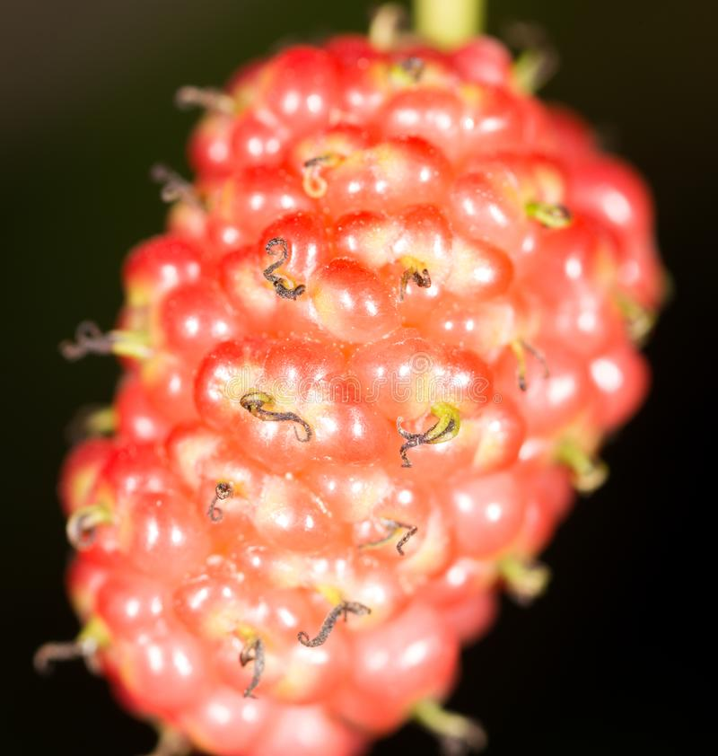 Mulberry berry on black. macro stock photography