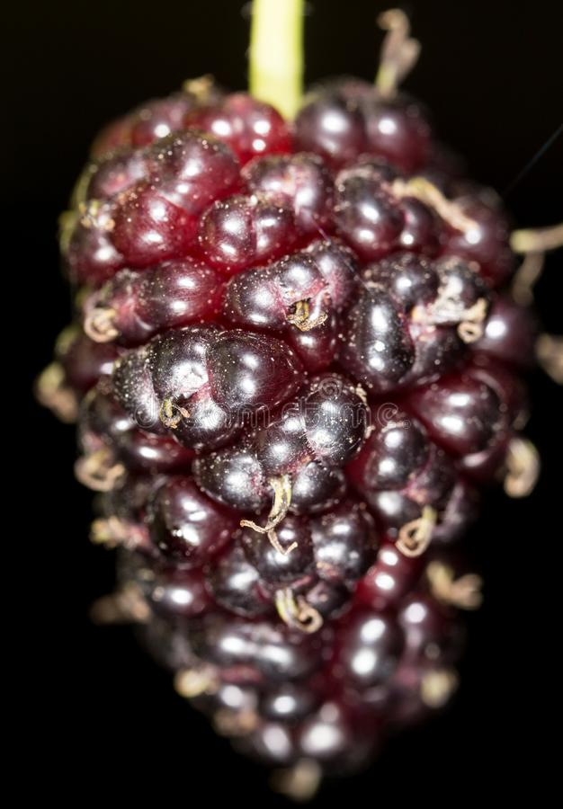 Mulberry berry on black. macro royalty free stock photography