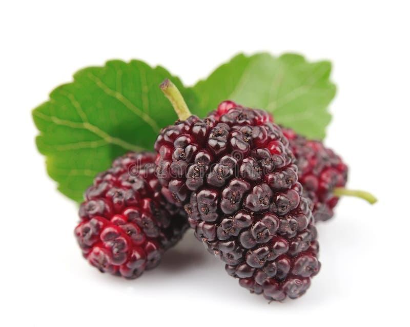 Mulberry com folhas foto de stock