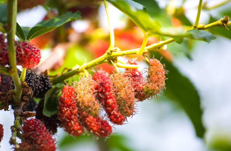 Mulberry fruit growing in the garden with beautiful sunlight , sweet and fresh. stock photo