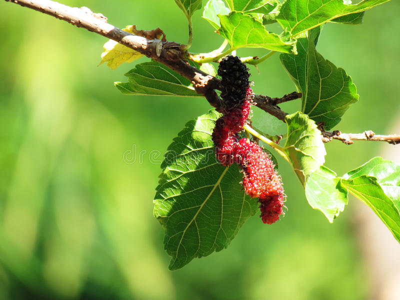 Mulberry Fruit leaf extract on tree stock photo