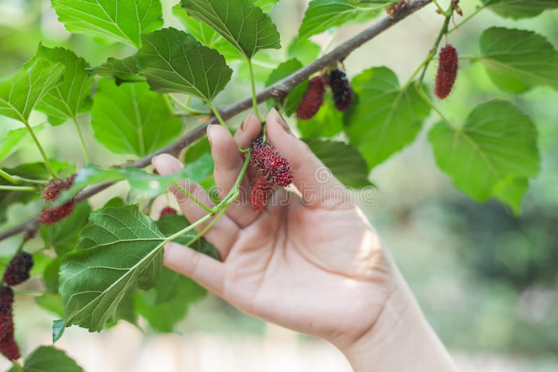 Mulberry fruit on tree, Berry in nature, selective royalty free stock image